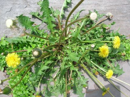 https://atlantahoaservices.files.wordpress.com/2012/06/dandelion-weeds.jpg?w=300