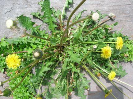 https://atlantahoaservices.files.wordpress.com/2012/06/dandelion-weeds.jpg?w=300